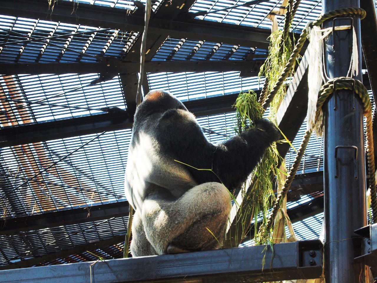 京都市動物園ゴリラのシルバーバック