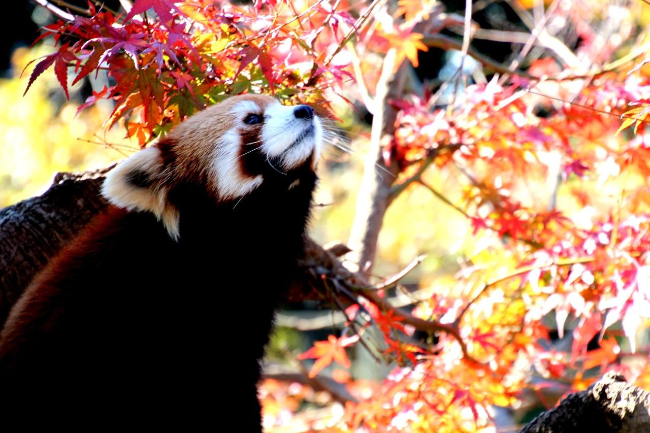 市川動植物園レッサーパンダ